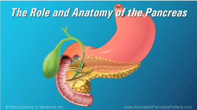 The Role and Anatomy of the Pancreas